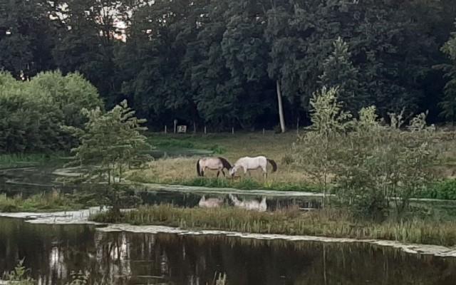 Paarden begrazen het gebied